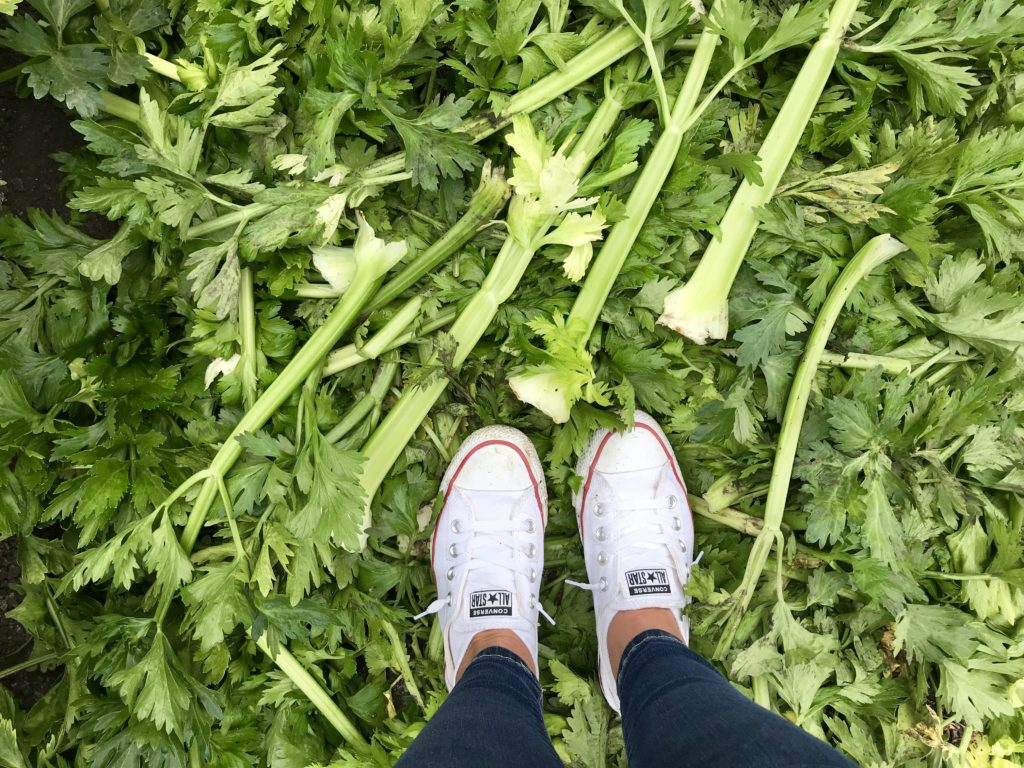 This photo is taken in a celery field in Monterey California and shows how celery is grown and how farmers keep them safe in the field. We learned the how they are grown, packaged and shipped directly from the farm.