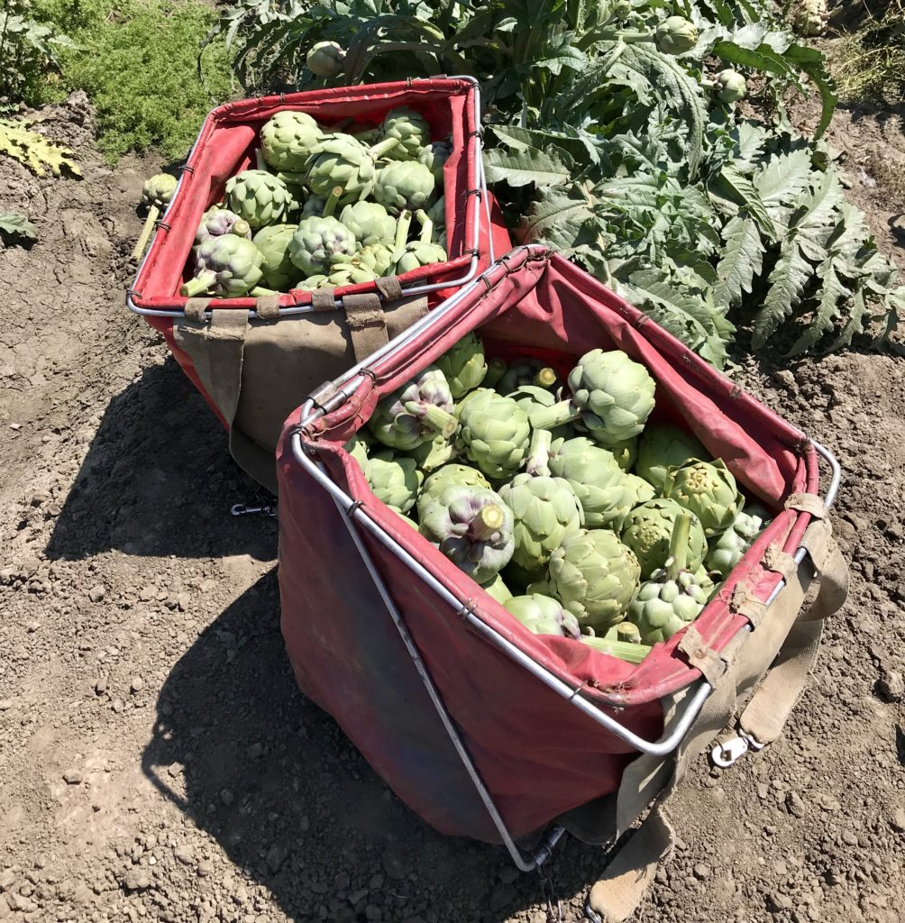 This photo is taken in an artichoke field in Monterey California and shows how artichokes are grown and how farmers keep them safe in the field. We learned the how they are grown, packaged and shipped directly from the farm.