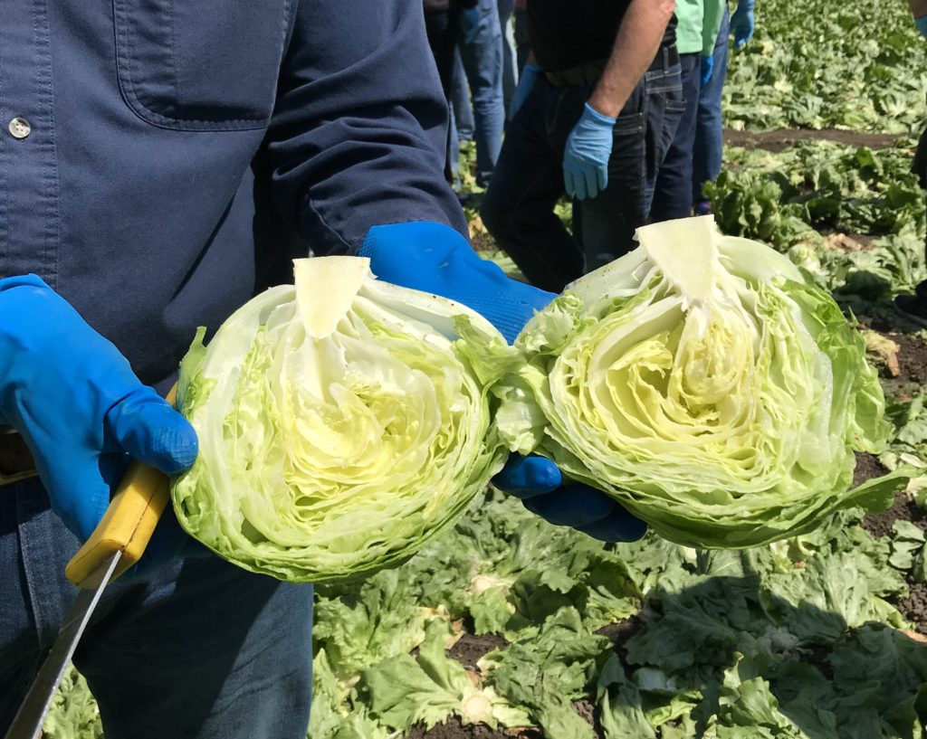 This photo is taken in an Iceberg lettuce field in Monterey California and shows how Iceberg is grown and how farmers keep them safe in the field. We learned the how they are grown, packaged and shipped directly from the farm.