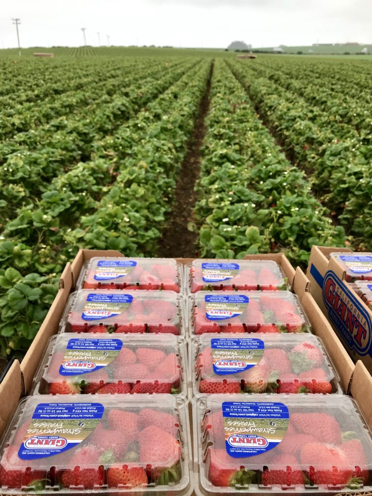 This photo is taken in a strawberry field in Monterey California and shows the draining system of strawberries  and how farmers keep them safe in the field. We learned the how they are grown, packaged and shipped directly from the farm.