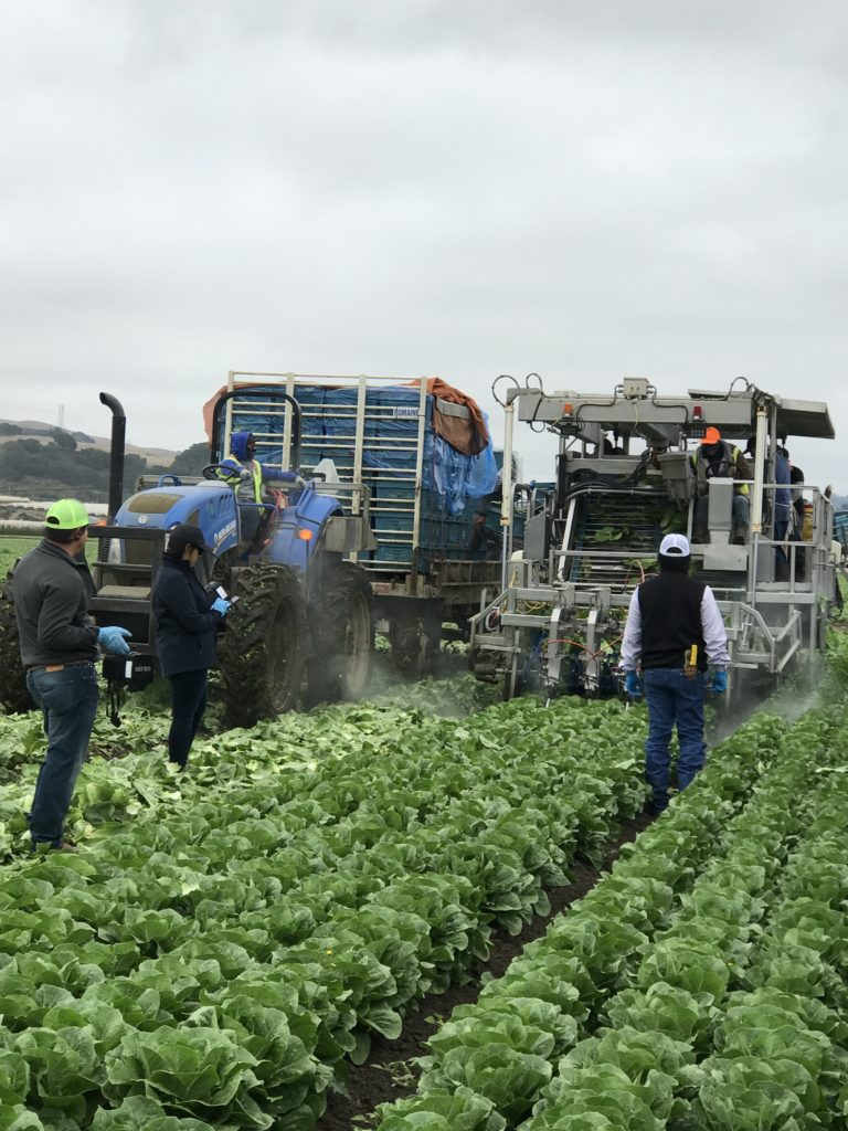 Romaine Lettuce Harvest in the field